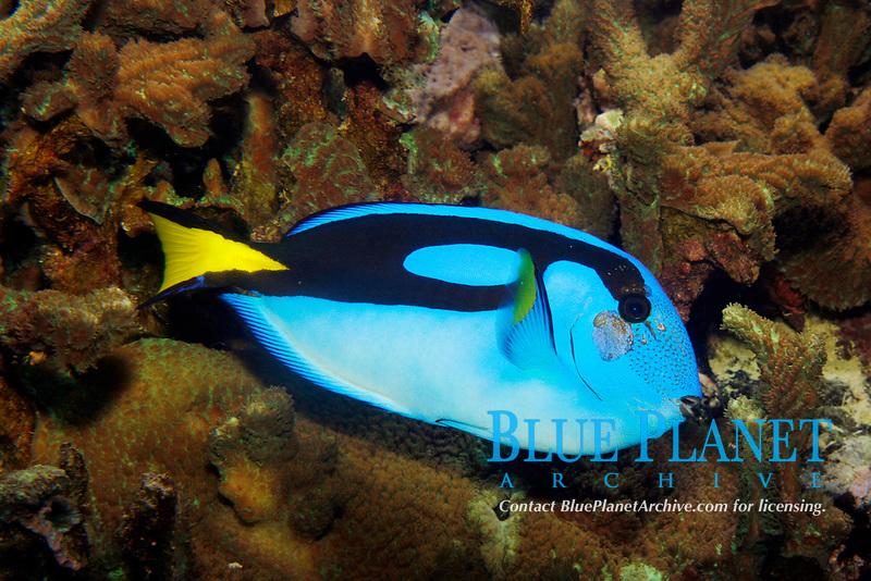 Morpho Blue-Tang (Paracanthurus hepatus) (c)