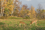 White-tailed fawn checking out a buck (Odocoileus virginianus)