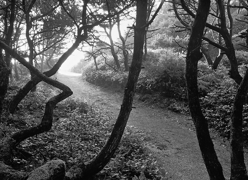 Shore Pine trees and path at Seal Rock, Oregon