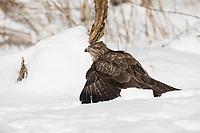 Mäusebussard, im Schnee, Winter, mantelt, schützt seine Beute, Mäuse-Bussard, Bussard, Buteo buteo, common buzzard, buzzard, snow, La Buse variable