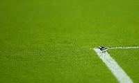 21st April 2021; Celtic Park, Glasgow, Scotland; Scottish Womens Premier League, Celtic versus Rangers; a bird lands on the 18 yard line during the match