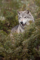 Grey Wolf looking out from a bush - CA
