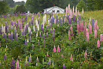 Lupines bloom along the Pearl Lake Road in Lisbon, NH, USA