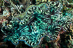 Serua Island, Banda Sea, Indonesia; a large green and black giant clam anchored to the reef