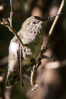 An Anna's Hummingbird is caught mid-blink while perched in a backyard tree.