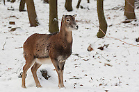 Mufflon, Muffelwild, Weibchen, Muffel-Wild, Muffel, Ovis musimon, Ovis aries musimon, Ovis gmelini musimon, mouflon