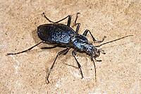 Dunkelblauer Laufkäfer, Blauer Laufkäfer, Carabus intricatus, blue ground beetle