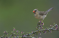 Northern Cardinal, Cardinalis cardinalis,female on blooming Guayacan (Guaiacum angustifolium) , Starr County, Rio Grande Valley, Texas, USA