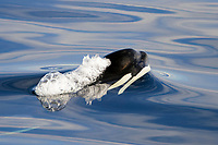 Young Orca, Orcinus orca, surfacing in Chatham Strait, southeast Alaska, USA.