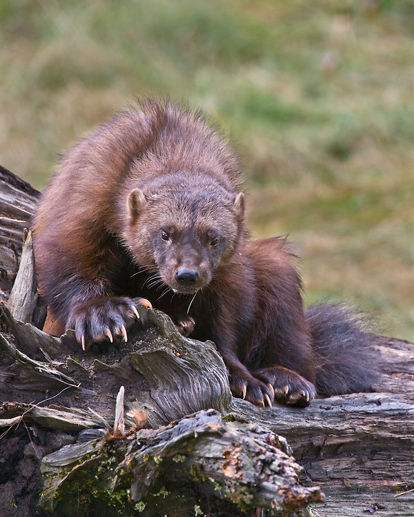 Wolverine watching from on top of an old log - CA
