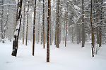 A Fresh Blanket of Snow Falling Softly in the New Hampshire Woods