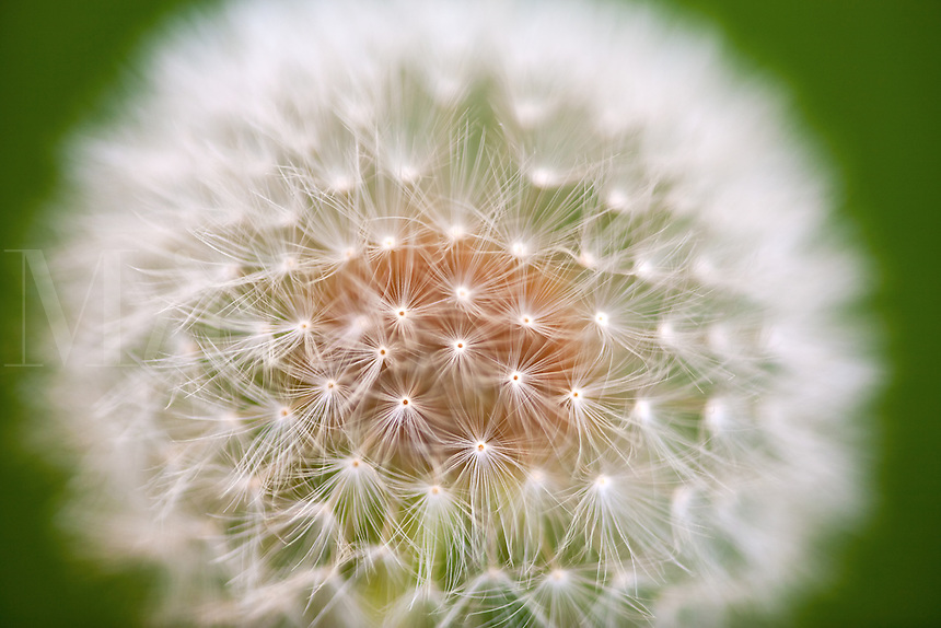 close up of dandelion flower, parachute ball,