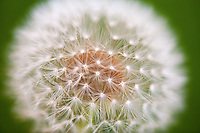 close up of dandelion flower, parachute ball,