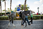 HALLANDALE FL - FEBRUARY 27: Mohaymen #6, ridden by Junior Alvarado walks to the track for the Xpressbet.com Fountain of Youth Stakes at Gulfstream Park on February 27, 2016 in Hallandale, Florida.(Photo by Alex Evers/Eclipse Sportswire/Getty Images)
