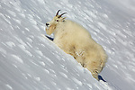 Rocky Mountain Goat in Deep Snow