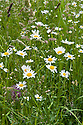 Oxeye daisies (Leucanthemum vulgare) in meadow grass, early June.