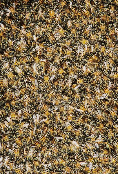 Honey Bee, Apis mellifera, bees on wild honey cone,Welder Wildlife Refuge, Sinton, Texas, USA, May 2005