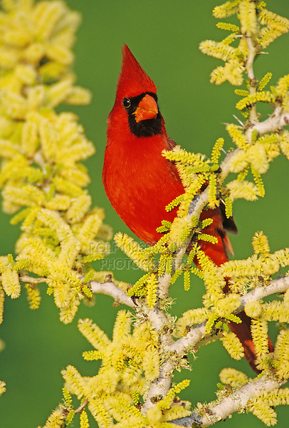 Northern Cardinal, Cardinalis cardinalis,male on blooming Blackbrush Acacia (Acacia rigidula) , Lake Corpus Christi, Texas, USA