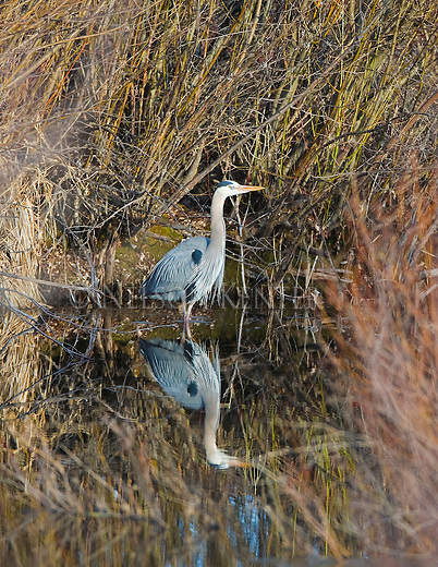 Great Blue Heron standing in a creek in a brushy meadow in Montana in the Blackfoot Valley