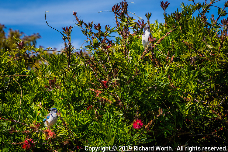 Two California Scrub-Jays posing in the green and red of a bottle brush tree under a blue sky on a springtime afternoon.