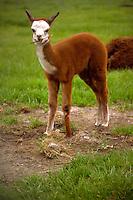 Llama cria, young llama. Springville, Utah.