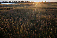 Marsh grass, with seed heads glowing in backlit sunset light, at the Martin Luther King Jr. Regional Shoreline in Oakland, California.
