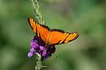 Costa Rican Butterflies