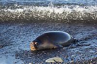 Southern Elephant Seal on the beach at Heard Island, Antarctica
