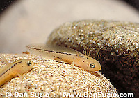 Sierra newt (California newt), Taricha torosa sierrae, larval stage. Sierra National Forest, California. Complete newt life cycle available, including mating, egg-laying, eggs with developing embryos, larval newts, and adults in summer and winter.