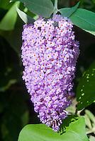 Buddleja davidii 'Butterfly Heaven' in summer bloom butterfly bush