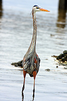 Adult great blue heron in foraging posture