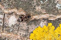 Schwarzweiße Bodenwanze, Schwarz-Weiße Bodenwanze, Schwarzweisse Bodenwanze, Langhorn-Wicht, Langhornwicht, Scolopostethus pictus, Seed Bug, Ground Bug, Bodenwanzen, Lygaeidae, Seed Bugs, Ground Bugs