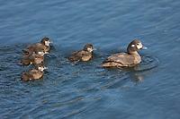 Kragenente, Kragen-Ente, Weibchen führt ihre Küken, Histrionicus histrionicus, harlequin duck, lords and ladies, painted duck, totem pole duck, rock duck, glacier duck, mountain duck, white-eyed diver, squeaker, blue streak, female, chick, chicken, fledgling, fledglings, L'Arlequin plongeur, Canard arlequin, Garrot arlequin, Island, Iceland