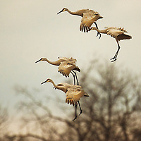 """""""Sandhill Crane Landing""""  Wisconsin River  Aldo Leopold Foundation 