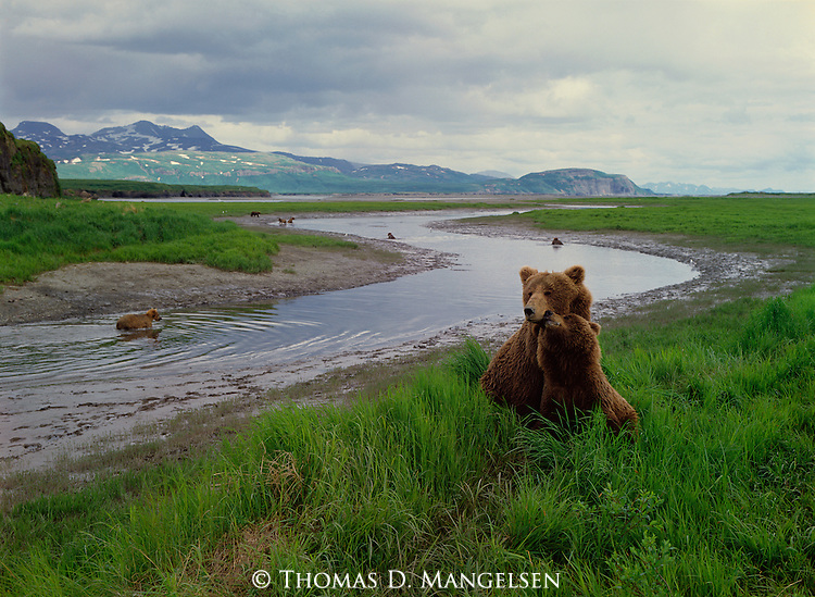 Brown bears gather at the McNeil River to fish for salmon.