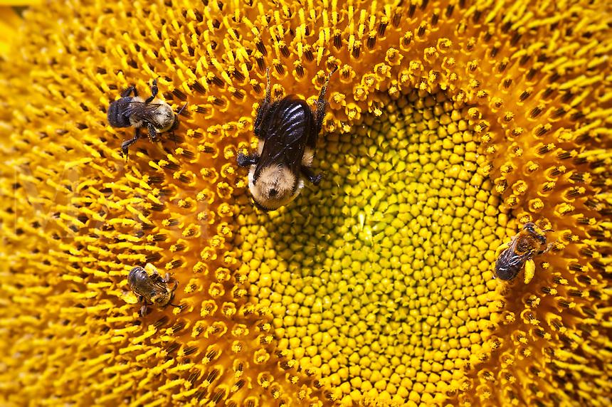 Bees on sunflower.