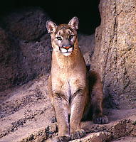 Mountain Lion.