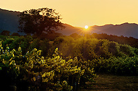 GRAPE VINE rows backlit by SUNSET - JOULLIAN VINEYARDS - CARMEL VALLEY, CALIFORNIA