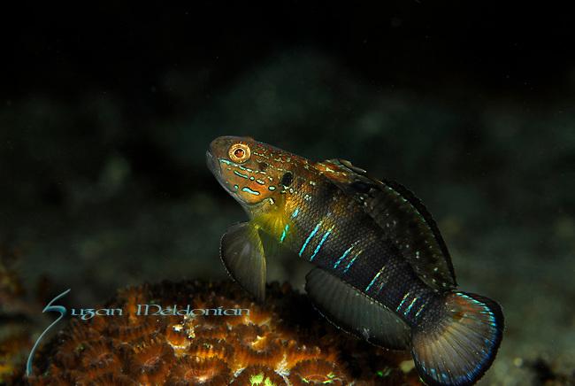 Banded Goby, Amblygobius phalaena, Lembeh Straits, Sulawesi Sea, Indonesia, Amazing Underwater Photography