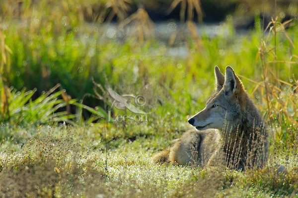 Coyote (Canis latrans) in in wetlands area.  Pacific Northwest.  Spring.