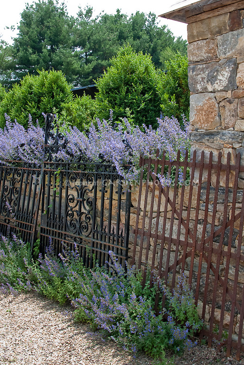 Massed Nepeta catmint plants in blue blooms, on stone wall with rustic gates,  along iron fence, Buxus boxwood shrubs, sky