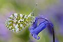 Orange Tip Butterfly (Anthocharis cardamines) male resting on Bluebell {Endymion nonscriptus}. Peak DIstrict National Park, Derbyshire, UK. April.