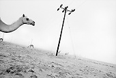 Salalah, Oman.July 2001..Camels inhabit the desert with endless electric lines.