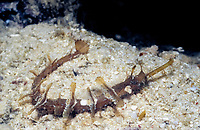 ornate pipefish, whiskered pipefish or winged pipefish, Halicampus macrorhynchus, Kapalai, Mabul, Sipadan, Malaysia, Celebes Sea, Indo-Pacific Ocean