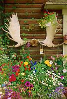 Moose Antlers and flowers, log cabin gift shop, Native village, Eagle, Alaska