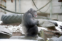 A Chimp ventures into the snow for a treat at the Ape and Monkey Santuary near Coelbren in the Swansea Valley in South Wales.