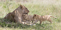 We saw a number of lions in Ndutu, and had a nice session with this mother and her five cubs one morning.