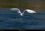 Elegant Tern Takeoff Head-on, Bolsa Chica Wildlife Refuge, Southern California