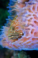 red hind, Epinephelus guttaus, resting in azure vase sponge, Callyspongia plicifera, west coast St. Vincent, St Vincent and the Grenadines, Caribbean, Atlantic Ocean