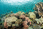 Munda, Western Province, Solomon Islands; a large aggregation of fish swimming above a mix of hard and soft corals growing on the reef in shallow blue water
